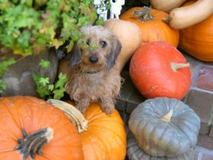 "Owner Brad Austin found a ""pupkin"" peeking out at him from his ""Hallo-wiener pupkin"" pile... His little wire girl, Chica."